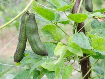 Mucuna pruriens, source of naturally occurring L-dopa