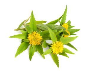 Rhodiola Rosea nootropic herb
