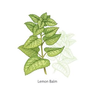 Medical plant Lemon Balm