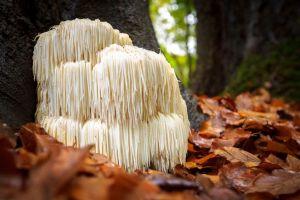 Rare Lion's mane mushroom Hericium Erinaceus