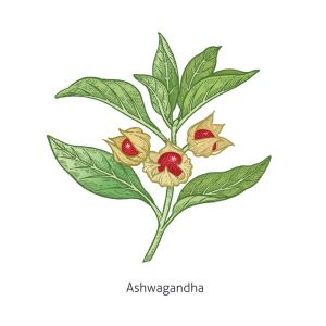 ashwagandha. medical herbs and plants