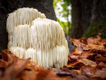 edible lions mane mushroom